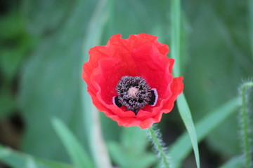 Red poppy in close-up