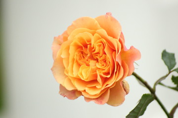 Orange colored rose type Airbrus