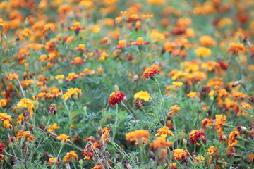 African marigold flowers on a field at a nursery