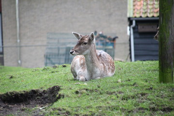 Deer in small animal park in center of Nieuwerkerk aan den IJssel