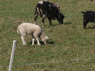Lambs on meadow in Zevenhuizen, Netherlands