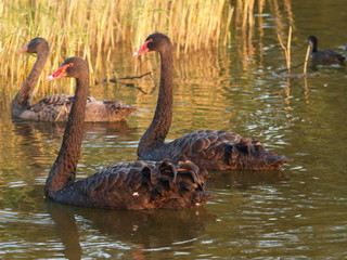 Three black swans swimming in the evening sun