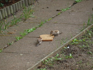 sparrows eating a slice of bread in the garden