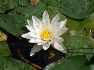 White lotus water lily in a pool
