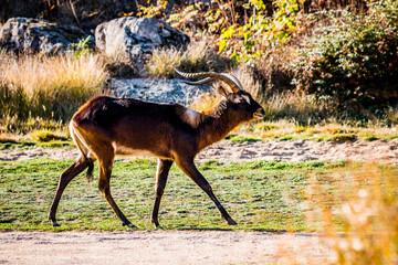L'antilope Cobe de Lechwe du Nil