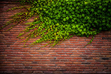 Old red brick wall texture and green leaf hanging down on it at the edge. Copy space background. Art of wall concept