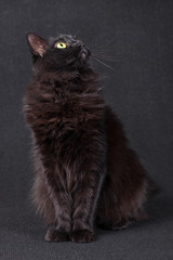 Black cat sitting and looking up acting curious and focused on a dark background. Long hair Turkish Angora breed. Adult female.