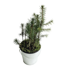 Side view of little Christmas tree in a pot is isolated on white background