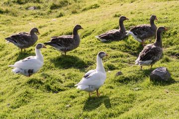 wild geese walk in a field on the hills of the faroe islands