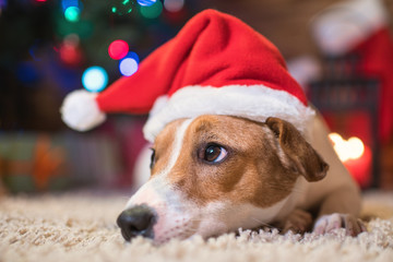 jack russel under a Christmas tree santa red  hat with gifts and candles celebrating Christmas