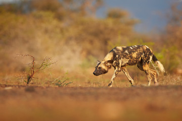 Alpha female of African Wild Dog, Lycaon pictus in typical hunting pose with with his head bowed to the ground. African wildlife photography, low angle and colorful light. KwaZulu natal, South Africa.
