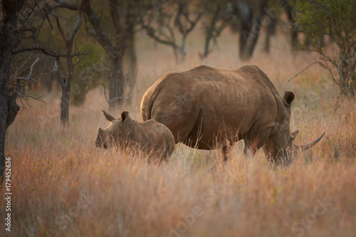 Endangered White rhinoceros, Ceratotherium simum, mother