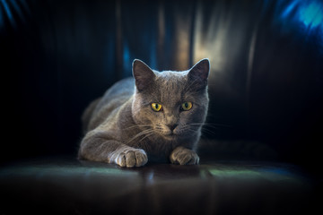 Un chat gris de face,regardant en bas couché sur un fauteuil sur un fond noir et des reflets bleus