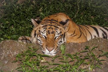 Asia Big Tiger
