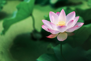 Garden Poster Lotus flower blooming red lotus flower with green leaves