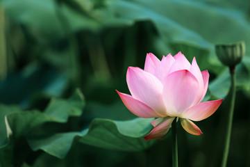 Garden Poster Lotus flower blooming red lotus flower with green leaves