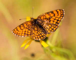 butterfly, insect, nature, macro, summer, orange, sunny, beauty, joy, fly,