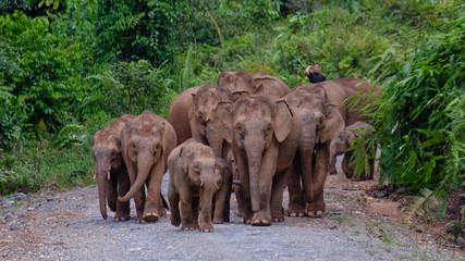 Bornean Pigmy Elephant 1 (Elephas maximus borneensis) in Deramakot, Malaysian Borneo, Sabah