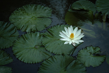 Lotus Flower in a Temple Pond. A beautiful lotus flower blooms in a pond at a temple in Ubud, Bali, Indonesia.