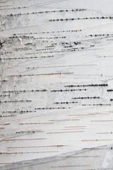 Paper Birch Bark Background