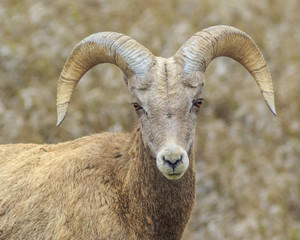 Portrait of a Big Horn Sheep