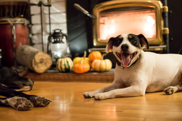 Thanksgiving Dogs Smiling near fireplace with Pumpkins