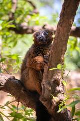 Canvas Prints red madagascar lemur
