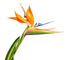 Wall Mural - Flower Bird of Paradise