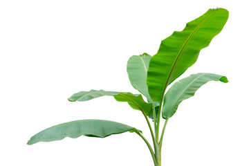 Banana tree isolated on white background. File contains a clipping path