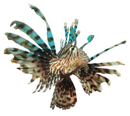 Wall Mural - Lionfish fish isolated on white background