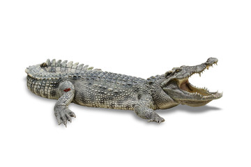 Poster de jardin Crocodile freshwater crocodile isolated on white background. File contains a clipping path.