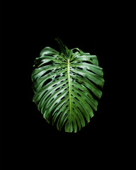 Monstera deliciosa on black background