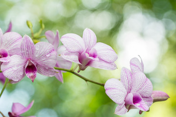 Abstract blurred of purple orchids, Dendrobium.