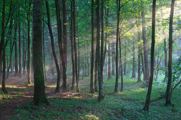 Fototapete - Sunbeam entering rich deciduous forest in misty evening