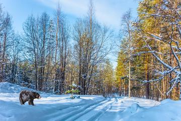 Black bear walks through a snowy forest