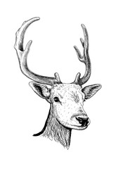 Sketch of the head of a young deer with horns isolated on white background. Vector illustration.