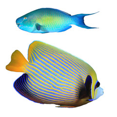 Tropical fish isolated. Rusty Parrotfish and Emperor Angelfish on white background