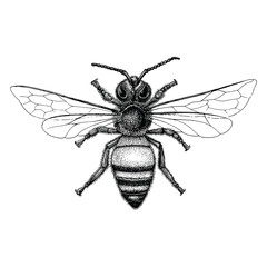 Bee hand drawing vintage style