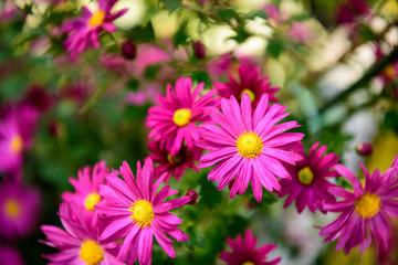 枚方菊フェスティバル 菊