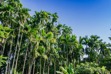 green Betel palm tree on blue sky background