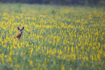 Roe deer in a clearing hidden in the flowers