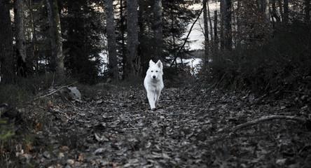 Weißer Schweizer Schäferhund rennt im Wald