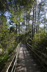 Cyprès chauve, Taxodium distichum, Palmier des Everglades, Acoelorrhaphe wrightii, Corkscrew Swamp sanctuary, SanctCorkscrew Swampuaire d'Audubon, Floride, Etats Unis