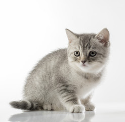 portrait of a cute kitten of a Scottish Fold cat on a white background looking attentively