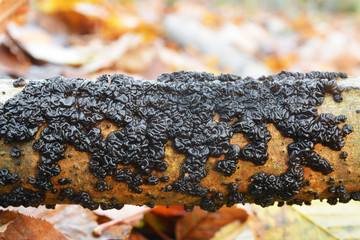 Exidia glandulosa jelly fungus