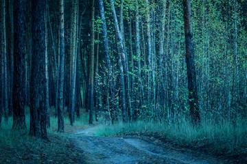 Foto op Canvas Bos night mysterious forest with birch grove and high pines