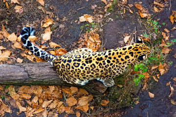 Russia, Primorskiy Leopard sitting on the tree. big spotted cat.