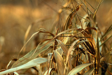 Reed Grass Background