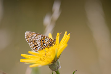 Heath fritillary (Melitaea athalia) on a blooming Jack-go-to-bed-at-noon