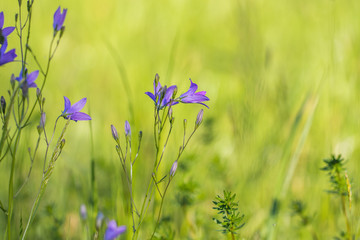 Spreading bellflower (Campanula patula) on a spring meadow